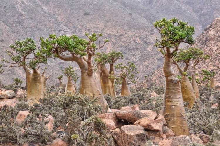 nature-socotra-trees
